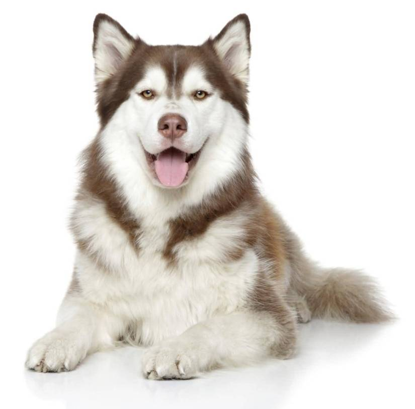 Very Nice Laughing Siberian Husky Dog Picture