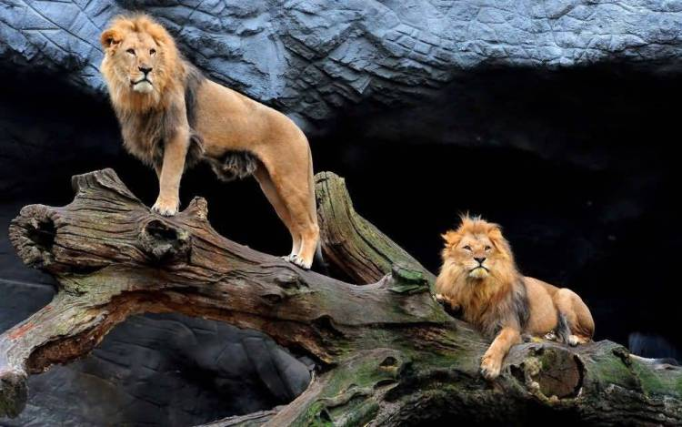 Very Strong Two Lions On The Tree 4k Wallpaper