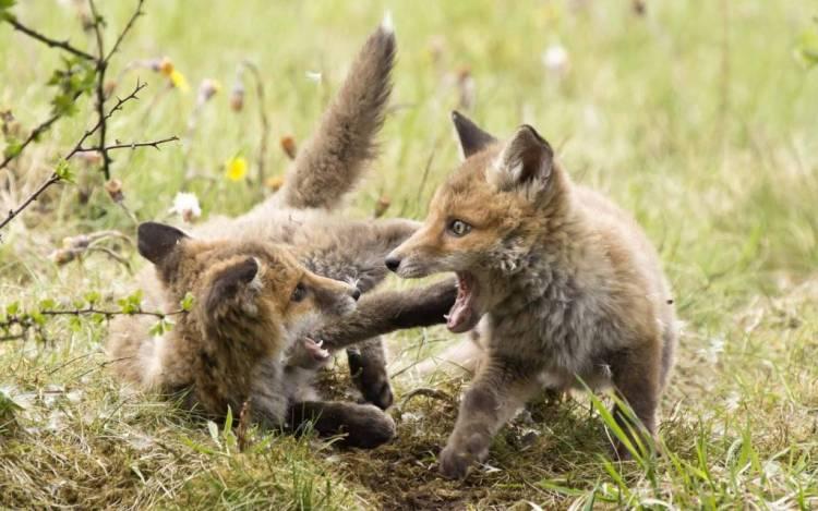 Wonderful Fox Cubs Wonderful Fox Wallpaper
