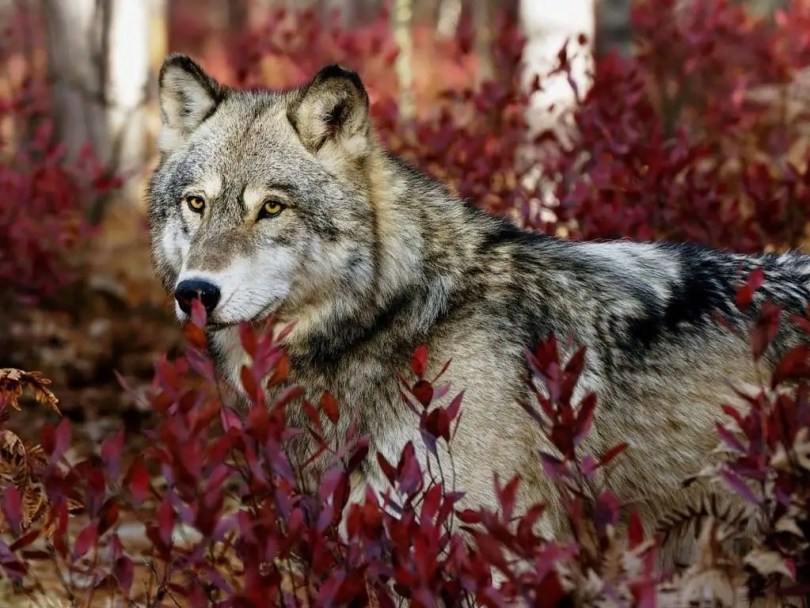 Most Amazing Gray Wolf Wonderful 4K Wallpaper