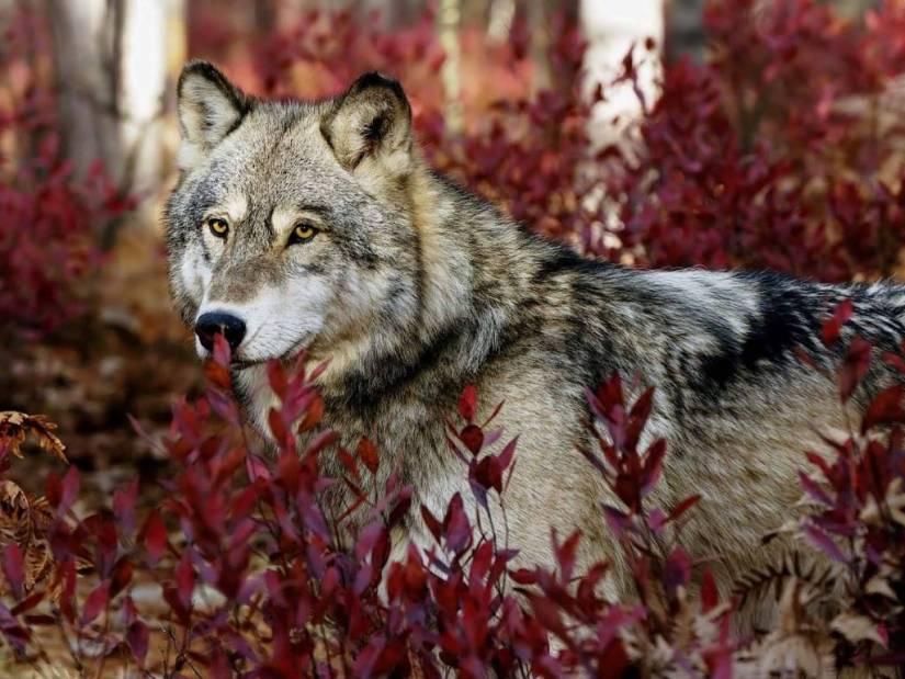 Most Amazing Gray Wolf Wonderful 4K Wallpaper