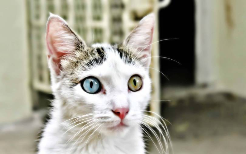 Most Beautiful Cat With Different Eyes Full HD Wallpaper