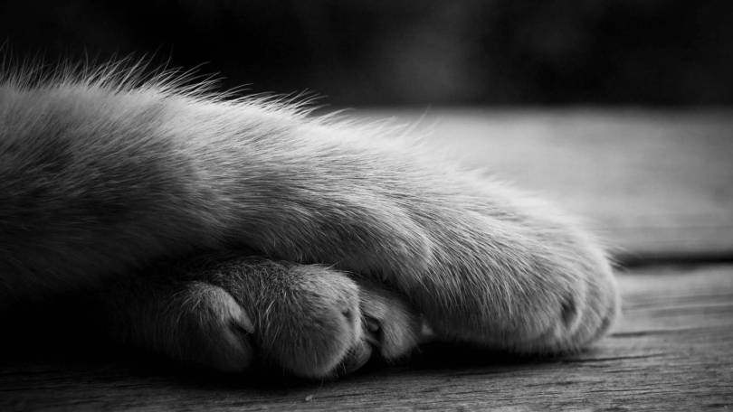 Most Beautiful The Feet Of The Big Cat Full HD Wallpaper