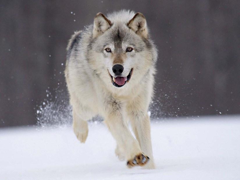 Most Unqiue Rapid Wolf 4K Wallpaper