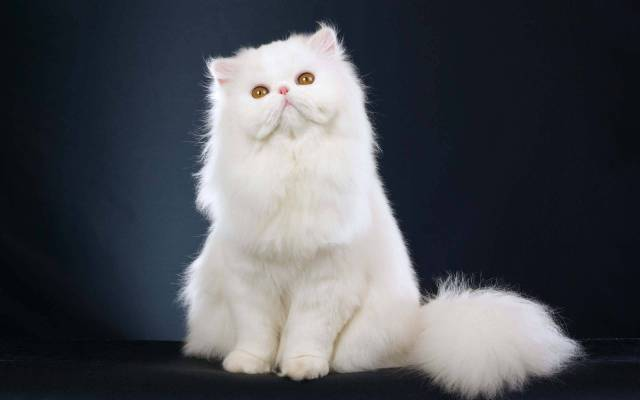 Unique Big White A Lovely Cat Full HD Wallpaper