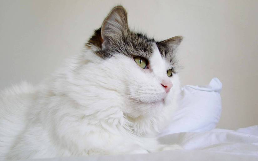 Very Beautiful Cat And White Pillow Full HD Wallpaper
