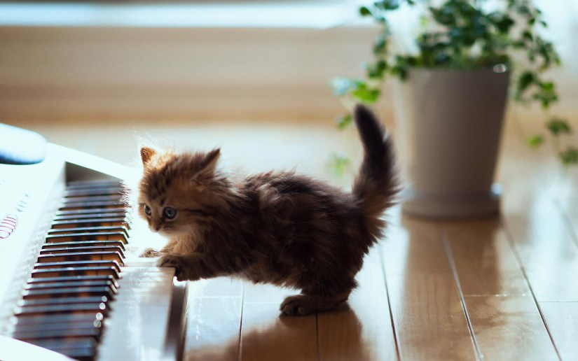 Very Little Cat Playing The Piano Full HD Wallpaper