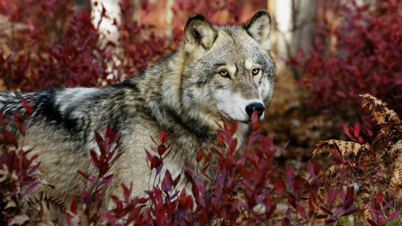 Wonderful Strong Wolf Between Plants Full HD Wallpaper