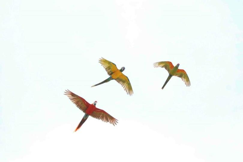 3 Parrots Flying In The Sky