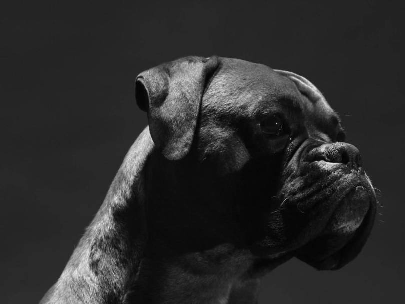 Adorable Black Boxer Dog Wallpaper For Desktop