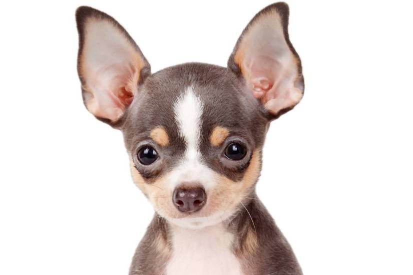 Adorable Black Chihuahua Dog With Black Eyes