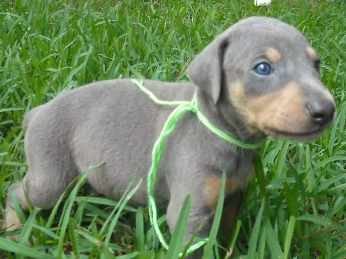 Adorable Black Doberman Pinscher Dog Baby Playing In Garden