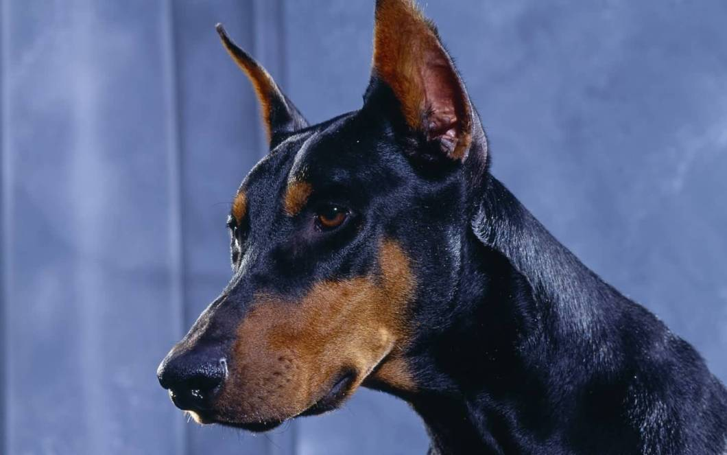 Adorable Black Doberman Pinscher Dog With Beautiful Background