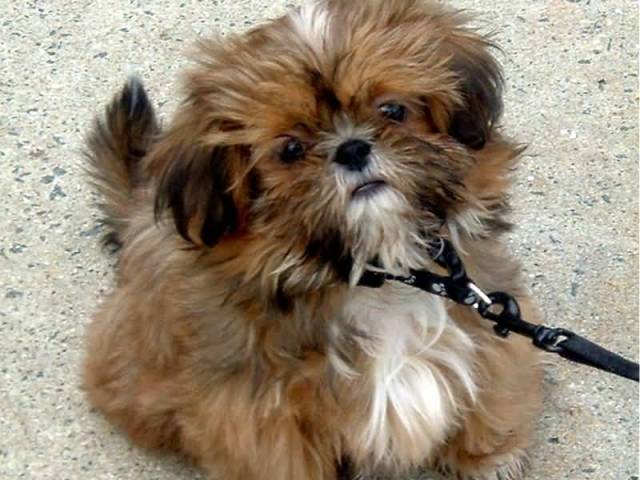 Adorable Brown Shih Tzu Dog Looking At You