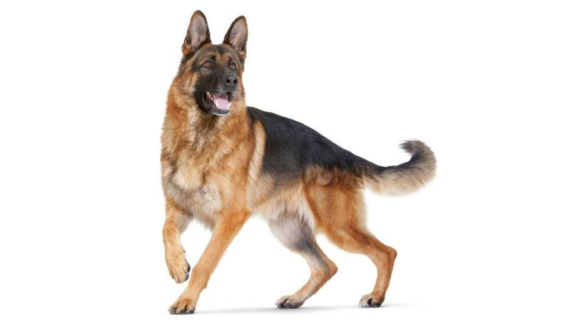 Adorable German Shepherd Dog For Wallpaper