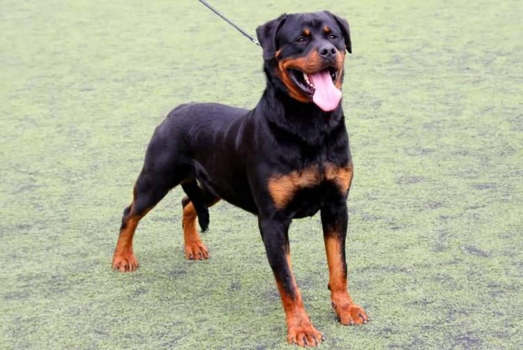 Adorable Rottweiler Dog Standing In Garden