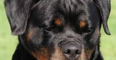 Adorable Rottweiler Dog With Black Eyes