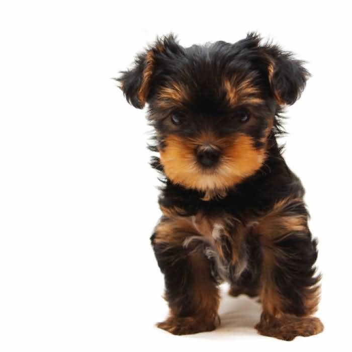 Adorable Yorkshire Terrier Dog For Wallpaper