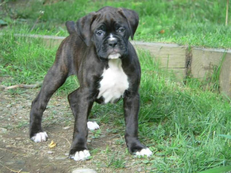 Amazing Black Boxer Dog Baby In Park