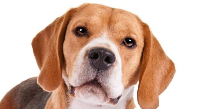 Amazing Face Of Brown Beagle Dog Looking At You