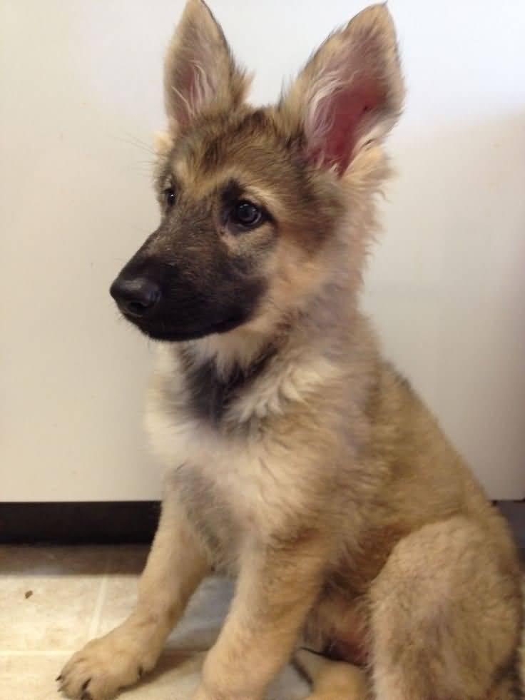 Amazing German Shepherd Baby Pup For Wallpaper