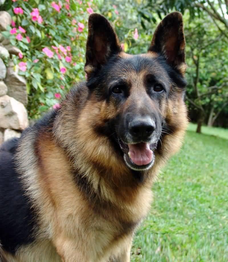 Amazing German Shepherd Dog Face Photo With Beautiful Background