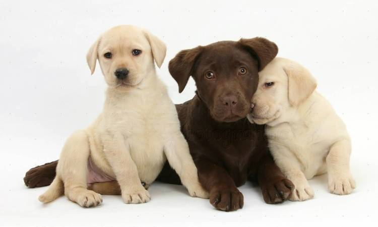 Amazing Labrador Retriever Dog Puppies With White Background