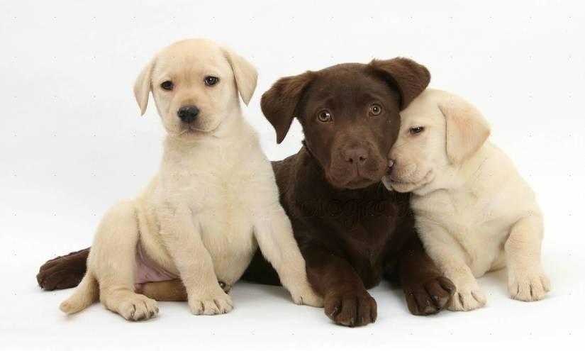 Amazing Labrador Retriever Dog Puppies With White Background