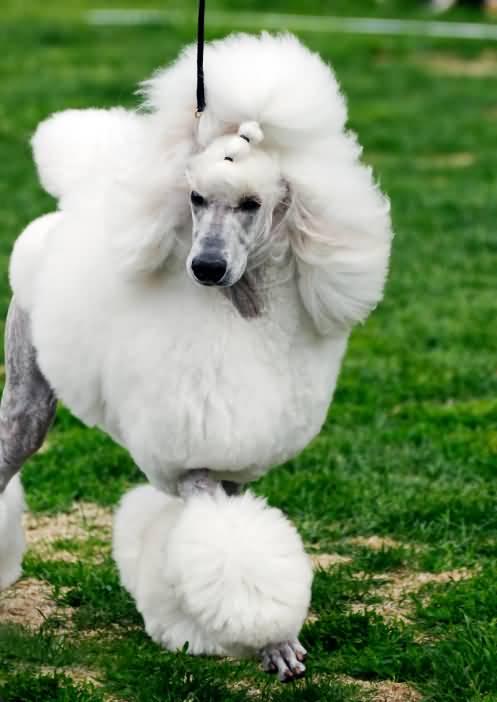 Amazing White Poodle Dog With Beautiful Background
