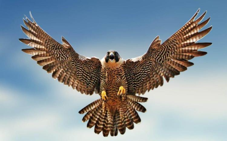 Angry American Eagle While Flying