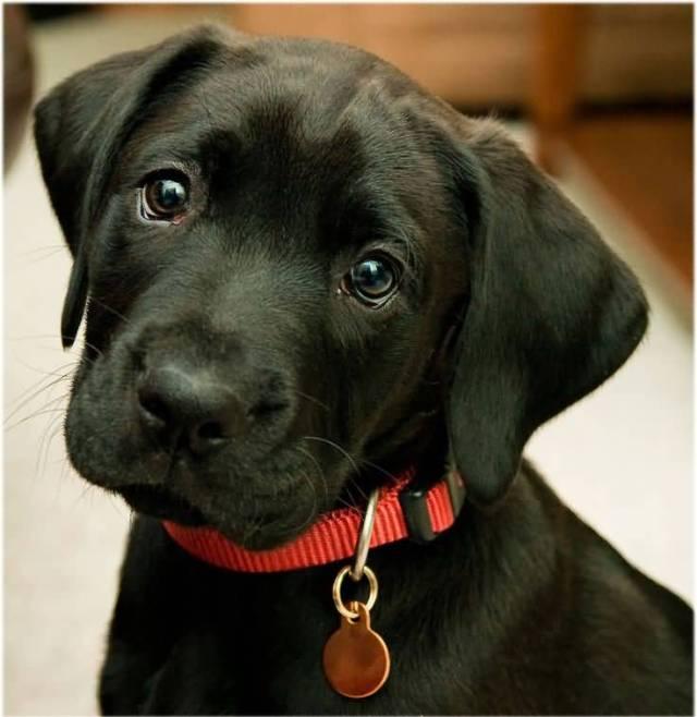 Attractive Black Labrador Retriever Dog Image For Wallpaper