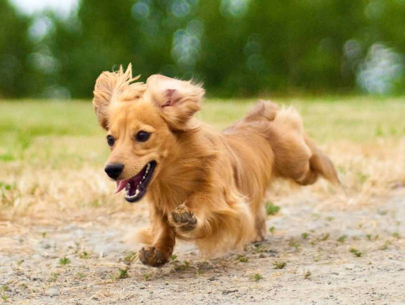 Attractive Dachshund Dog Running With Beautiful Background