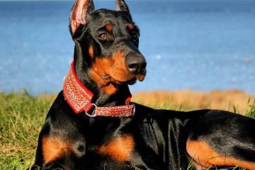 Attractive Doberman Pinscher Dog Picture For Wallpaper