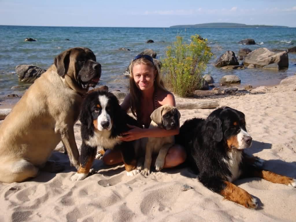 Attractive English Mastiff Dog For Wallpaper
