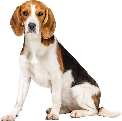 Attractive Full Grown Mix Beagle Dog Image For Wallpaper