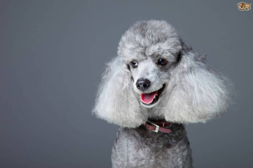 Attractive Grey Poodle Dog Picture For Wallpaper