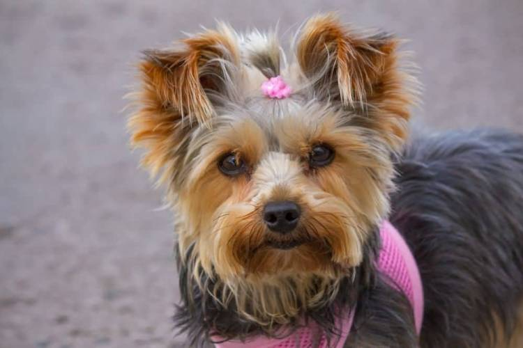 Attractive Yorkshire Terrier Dog With Beautiful Background