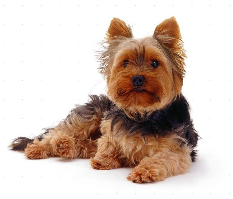 Attractive Yorkshire Terrier Toy Dog For Wallpaper