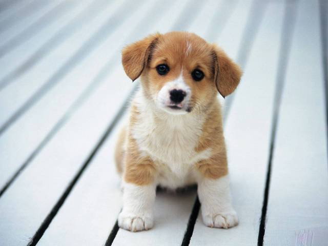 Awesome Beagle Baby Dog Image For Desktop