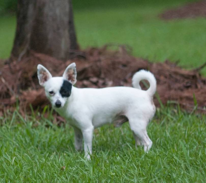 Awesome Chihuahua Dog Standing In Garden