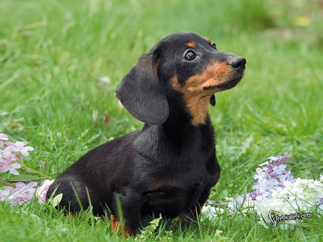 Awesome Dachshund Dog Sitting In Park