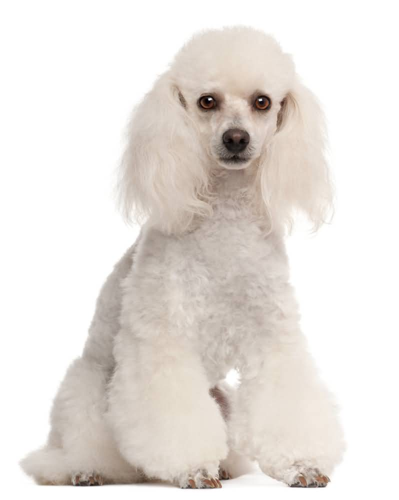 Awesome White Toy Poodle Dog With White Background