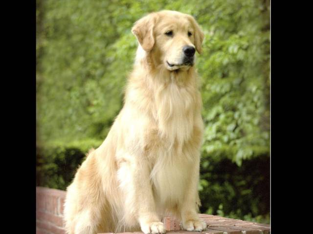 Beautiful Adult Golden Retriever Dog Green Background