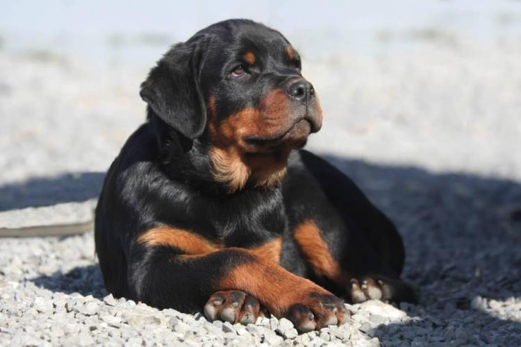 Beautiful Rottweiler Dog Baby With Beautiful Background