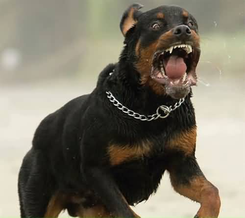 Beautiful Rottweiler Dog Running In Park