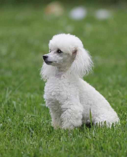 Beautiful White Poodle Dog Sitting In Garden