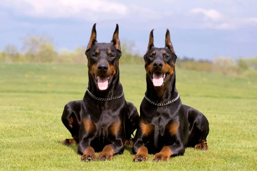 Best Doberman Pinscher Dog With Beautiful Background