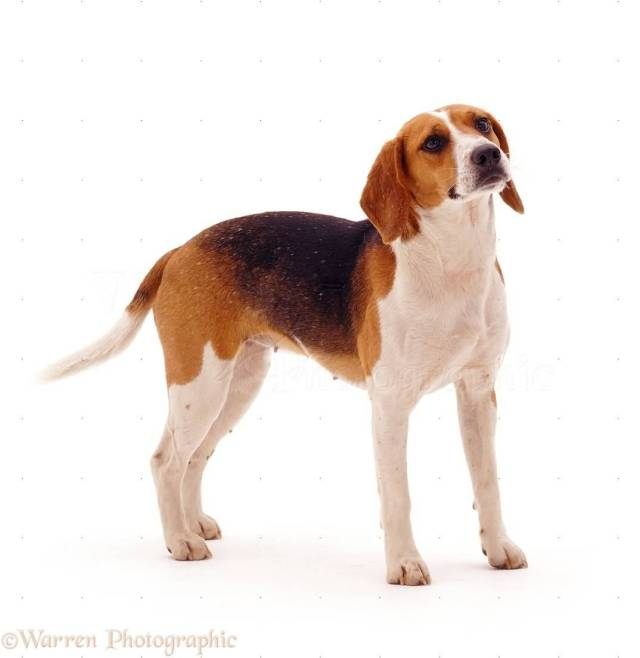 Brilliant Adult Beagle Female Dog Looking At Your Side view