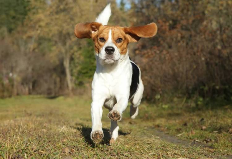 Brilliant Adult Full Grown Beagle Dog For Catching Thief