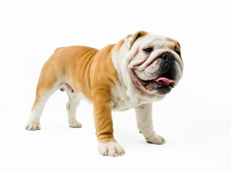 Brilliant Brown and White Bulldog Image For Desktop